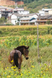 Horse in a field in front of Chinese traditional architecture Royalty Free Stock Image