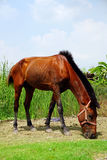 Horse on field grass. Royalty Free Stock Images