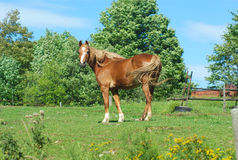 Horse in a field green grass enclosure ranch country landscape. Brown horse standing in green field enclosure Royalty Free Stock Image