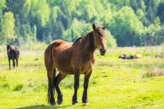 Horse on field Royalty Free Stock Photography