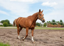 Horse, field and sky Royalty Free Stock Photos