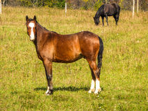 Horse in a Field Royalty Free Stock Photo
