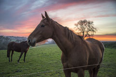 Horse in field at sunset Stock Photos