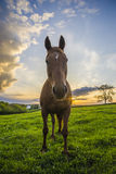 Horse in field at sunset Royalty Free Stock Photo
