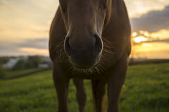 Horse in field at sunset. Horse nose and whiskers in field at sunset, Cornwall, UK Stock Images