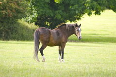 Horse in a field swishing its tail Royalty Free Stock Photo
