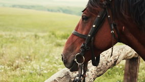 Horse in the field is tied to the fence stock video footage
