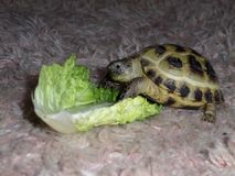 Horse field tortoise Royalty Free Stock Images