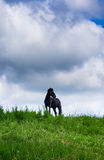 Horse in a field. Traveller's horse in a field Stock Photography