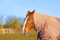 Horse in field wearing horse rug Stock Photography