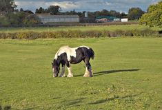 Horse on field. Royalty Free Stock Images
