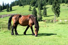 Horse at the field. A wild horse grazing in a mountain field at Transylvania, Europe Royalty Free Stock Image