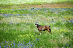 Horse in Field of Wildflowers Stock Images