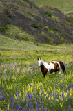Horse in Field of Wildflowers Royalty Free Stock Photography