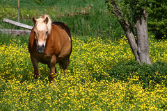 Horse in a field of yellow flowers. Horse grazing in a field of yellow flowers Stock Image