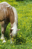 Horse in a field of yellow flowers. Horse grazing in a field of yellow flowers Stock Images