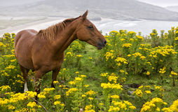 Horse in a field of yellow flowers. Royalty Free Stock Images