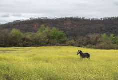 Horse in field of yellow flowers Stock Image