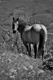 Free horse in the fields. Black and white photography of a free big horse on meadows in the mountains looking back royalty free stock image
