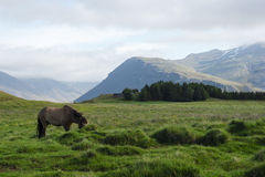 Horse in the fields of Iceland, summer stock images