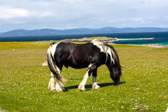 A horse in the fields of Iona in the Inner Hebrides, Scotland. Iona is a small island in the Inner Hebrides off the Ross of Mull on the western coast of Scotland royalty free stock images