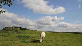 A horse in the fields of Scotland on summer day, HD footage stock footage