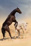 Horse fight in desert Royalty Free Stock Photo