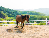 Horse in the filed Royalty Free Stock Photo