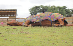 Relaxed and Resting Horse Stock Images