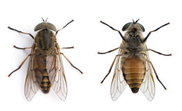 Horse flies in front of a white background Stock Photos