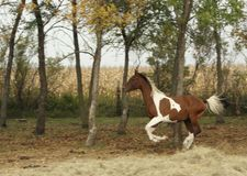 Horse in Flight. Arabian Paint running in pasture in fall, corn field in background stock image