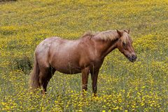 Horse on a flower meadow in Corsica, France Stock Images