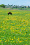 The horse on flowering spring pasture Stock Image