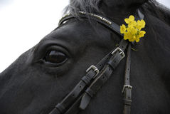 Horse with Flowers in Bridle. Closeup, cropped view of a black horse with yellow flowers in his bridle. Horizontal shot Royalty Free Stock Photo