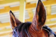 Horse fluffy ears and mane. On the horse farm Stock Photo