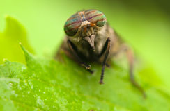 Horse fly Stock Image