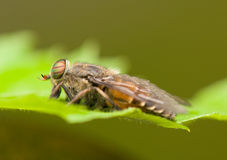 Horse fly Stock Photos