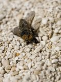 Horse fly. On the beach Stock Photography
