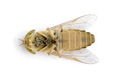 Horse-fly, against white background Stock Image