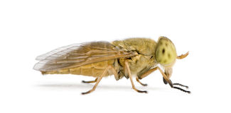Horse-fly, against white background Stock Images