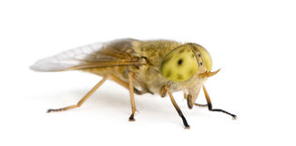 Horse-fly, against white background Stock Photos