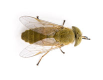 Horse-fly, against white background Royalty Free Stock Images