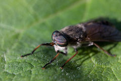 Horse Fly Insect. Sit on leaf Stock Image