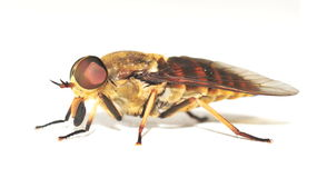 Horse Fly isolated Stock Photos