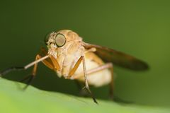 Horse Fly Stock Images