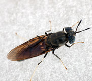 Horse fly macro - Tabadinae Royalty Free Stock Images