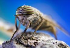 Horse-fly, macro, wild Royalty Free Stock Photo