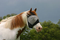 Horse in Fly Mask. Paint horse wearing fly mask, to protect from flies and sunburn, blue sky, green oak trees in background Stock Photos