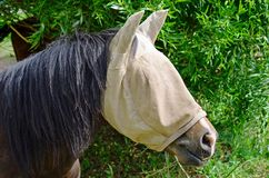 Horse with fly mask. Horse in summer wearing fly mask Stock Images