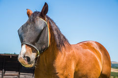 Horse with fly net. Portrait of a brown horse with a black fly net over the face Stock Photo